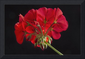 Red Geranium In Progress 2