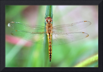 Gold Skimmer Dragonfly