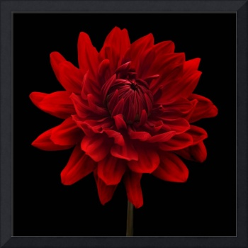 Red Dahlia Flower Black Background