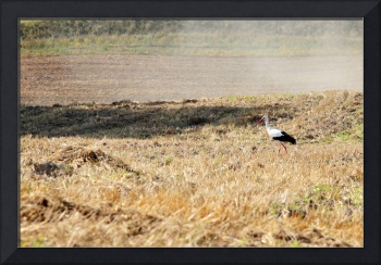 Stork hunting on field