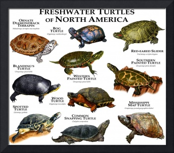 Freshwater Turtles of North America