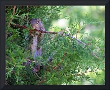 Squirrel Hanging out in Evergreen Tree