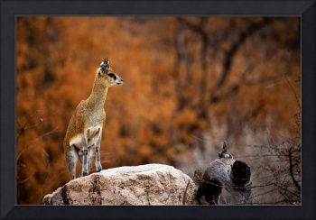 Fine Art: Klipspringer