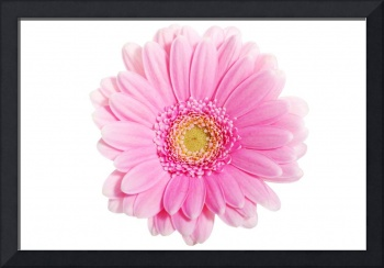 Up front view on pink gerbera flower. Isolated on