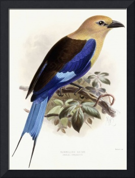 Bluebellied Roller, 1893 (hand-coloured lithograph