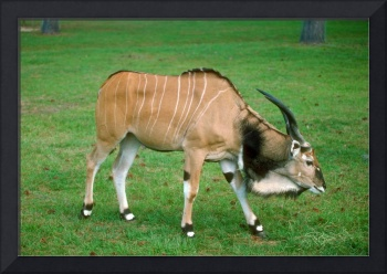 Endangered Giant Lord Derby's Eland Young Bull