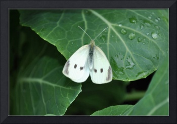 Pieris Rapae/Small White Butterfly