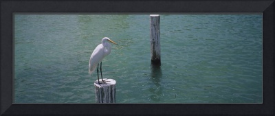 High angle view of a Great egret (Ardea alba) per