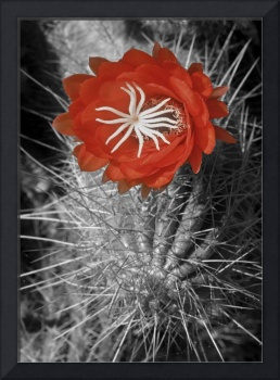 Red Cactus flower blossom