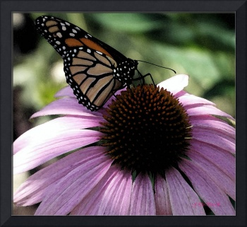 BUTTERFLY CONTRASTED