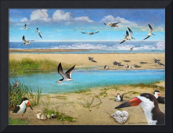 black skimmer - beach nesting area