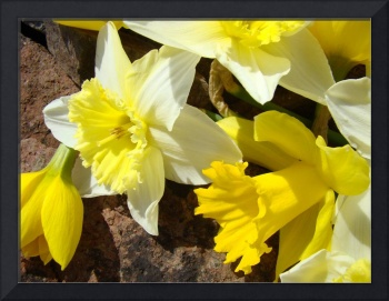 Nature yellow Daffodils SPRING FLOWERS Art Prints