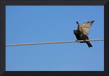 Bird on a wire (starling)