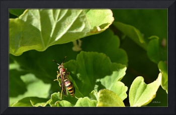 Yellow Jacket Wasp on a Geranium Leaf