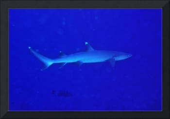 Whitetip Shark Free Swimming
