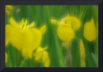 Yellow Iris Double