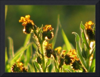 Tiny yellow meadow flowers_4108
