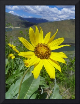Botanical - Arrowleaf Balsamroot - Outdoors Floral