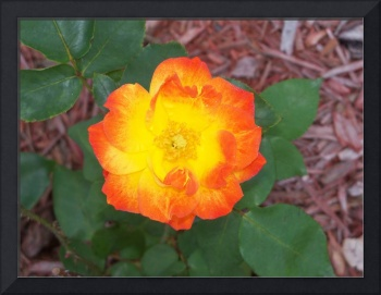 Neon colored yellow and orange climbing rose