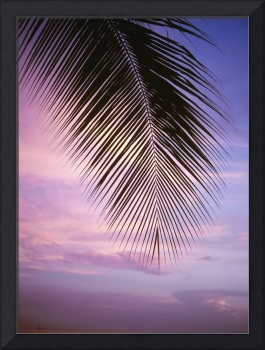 Palm Tree Branch At Sunset, Close Up, Barbados