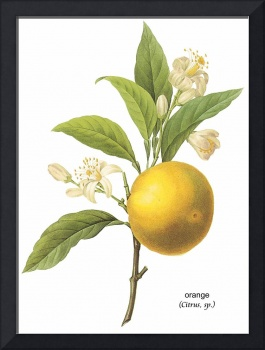 Orange (Citrus sp.)  Botanical Art