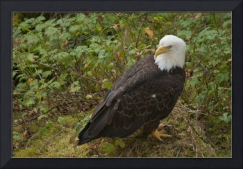 Bald Eagle Closeup at Anan Creek, Alaska