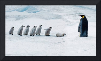 Emperor Penguin Adult And Chicks, Antarctica
