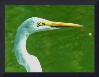 Portrait of a Great Egret