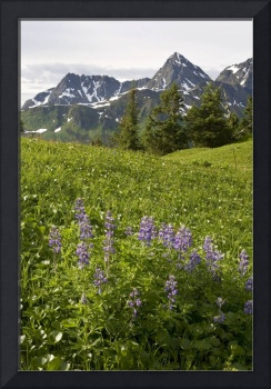 Lupine wildflowers in high alpine meadow on Eagle