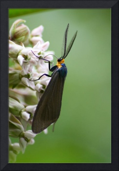 Yellow Collared Scape Moth