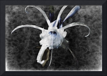 Star Lily Photoshop I