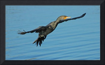 Dance of the Cormorant