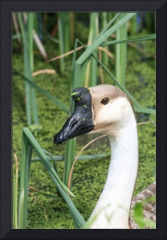 Goose in the Cattails