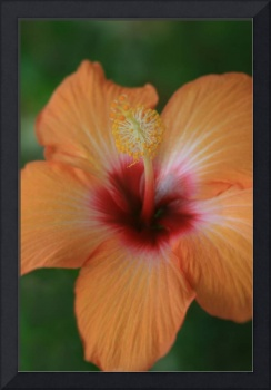 Aloalo Tropical Hibiscus Keopuka Maui Hawaii