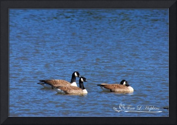 Canadian Geese 20120406_37a