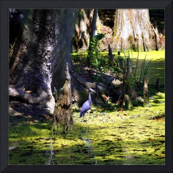 Blue Heron Swamp Scene