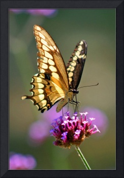 Butterfly  Giant Swallowtail