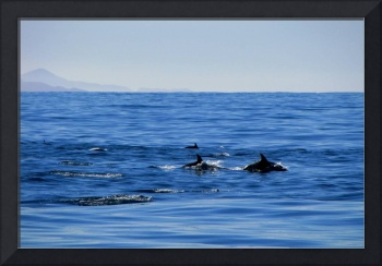 Dusky dolphins in Kaikoura, New Zealand