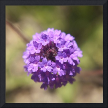 Verbena rigida flower photography