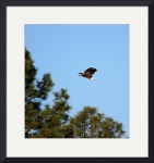 Heading Home-Bald Eagle by Jacque Alameddine