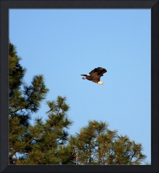 Heading Home-Bald Eagle