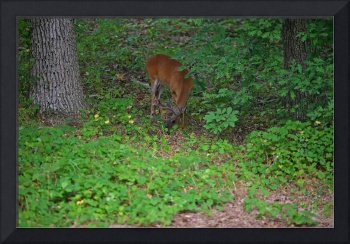 Buck Feeding in Spring