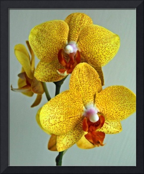 My Second Orchid :)