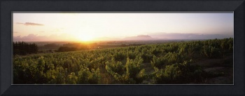 Sunset over a vineyard with Table Mountain in the