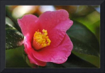 droplets on small pink camellia bloom