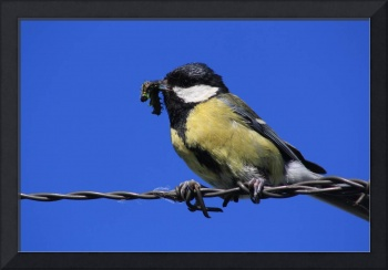 Tomtit on a wire