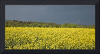 rapeseed field with storm clouds in background, Br