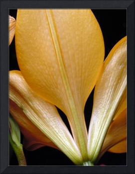 Yellow Day Lily 82a