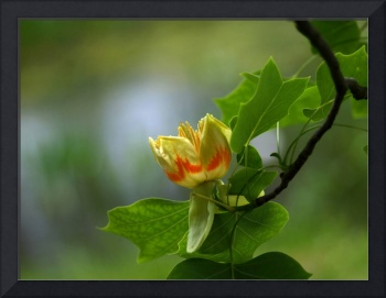Flower Tulip Tree