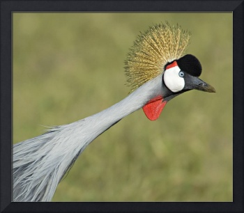 Close-up of a Grey Crowned crane